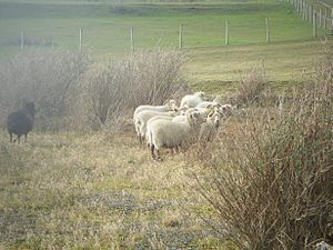 Fancy's Family Farm - Portland Sheep at Fancy's Family Farm.