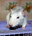 Fancy rat husky.jpg