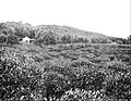 Farmers of forty centuries - tea plantation located on the flanks of wooded hill lands.jpg