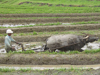 Environmental impact of meat production - Farmer ploughing rice paddy, in Indonesia. Animals can provide a useful source of draught power to farmers in the developing world