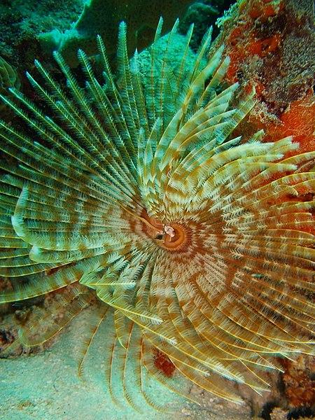 Aj takéto nádherné môžu byť morské obrúčkavce
