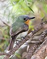 Female Leaden Flycatcher.jpg