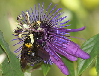 Xylocopa varipuncta - Image: Female valley carpenter bee Xylocopa varipuncta on passionflower