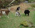 Feral goats in glendalough.jpg