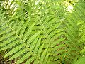 Fern in Cartland Craigs.JPG