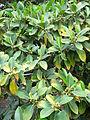 Ficus australis kz1.JPG