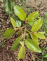 Ficus drupacea 03.JPG