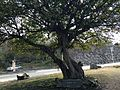 Ficus microcarpa in Park of the 60th Anniversary of Sakurajima Ferry.JPG