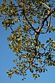 Ficus petersii 26148470.jpg