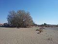 Ficus sycomorus subsp gnaphalocarpa01.jpg