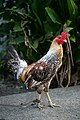 Fighting cock in Mindanao 04.jpg