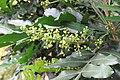 Filicium decipiens - Fern Tree at Theni (1).jpg