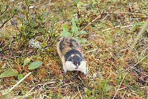 Norway lemming - Lemming