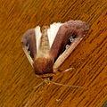 Flame Shoulder. Octopleura plecta. (4912671007).jpg