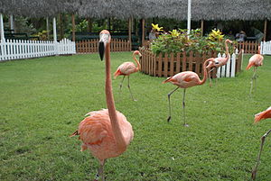 Ardastra Gardens, Zoo and Conservation Centre - Flamingos at the display