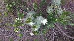 Flannel Flowers (Actinotus helianthi).jpeg