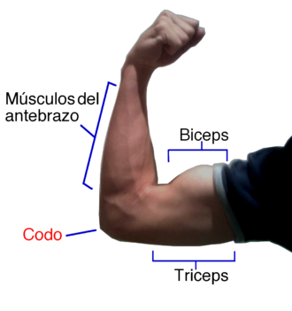 Anatomical terms of muscle - The antagonistic pair of biceps and triceps working to flex the elbow.