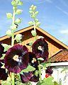 Flickr - Per Ola Wiberg ~ mostly away - Stockrosor (Alcea rosea) ~ Hollyhock in English.jpg