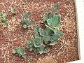 Flickr - brewbooks - Kalanchoe longiflora var. coccinea.jpg