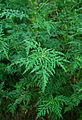 Flickr - ggallice - Common Ragweed.jpg