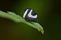 Flickr - ggallice - Portuguese helmet treehopper (1).jpg