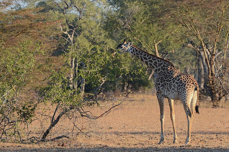 File:Flickr - ggallice - Thornicroft's giraffe (2).jpg