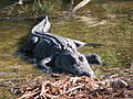 Flordia gator.jpg
