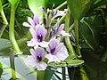 Flores da Chapada 01.jpg