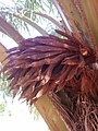 Flores de Elaeis guineensis.jpg