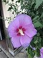 Flower of Hibiscus syriacus 20180730.jpg