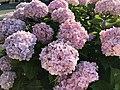 Flowers of Hydrangea macrophylla 20200621-2.jpg