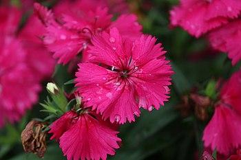 Flowers of a Dianthus-genus plant, species unidentified, 2016 (2).jpg