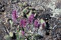 Flowers on the Lava (15089668765).jpg