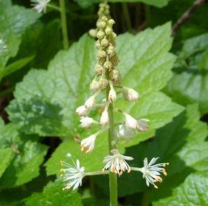 Saxifragaceae - Foamflower
