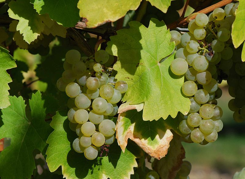 Гроздь белого винограда Фоль бланш