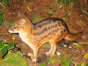 Malagasy civet - Malagasy civet at Ranomafana National Park.