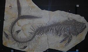 Xiphactinus - Xiphactinus audax at the Muséum d'Histoire naturelle de Genève