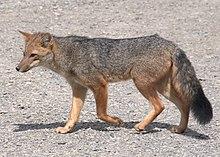 ¿Por que hay muchos therians lobos? - Página 2 220px-Fox_-Puerto_Natales%2C_Patagonia%2C_Chile-8