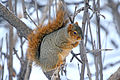 Fox Squirrel (14539535789).jpg