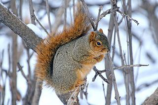 Fox squirrel Species of mammal