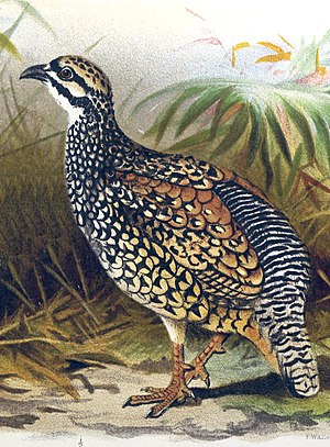 Chinese francolin - Image: Francolinus pintadeanus hm