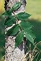 Fraxinus nigra NRCS-1.jpg