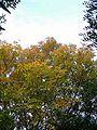 Fraxinus ornus aspetto autunnale.jpg