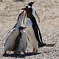 Freshly fed Gentoo Penguin chick (5557123219).jpg