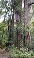 FreycinetiaArborea2.jpg