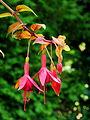 Fuchsia 'Autumnale'.JPG