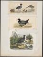 Fulica atra - 1700-1880 - Print - Iconographia Zoologica - Special Collections University of Amsterdam - UBA01 IZ17500241.tif