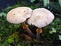 Fungi (2) - Flickr - gailhampshire.jpg