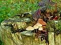 Fungus, Drumbeg - geograph.org.uk - 1047930.jpg