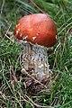 Fungus - geograph.org.uk - 550898.jpg